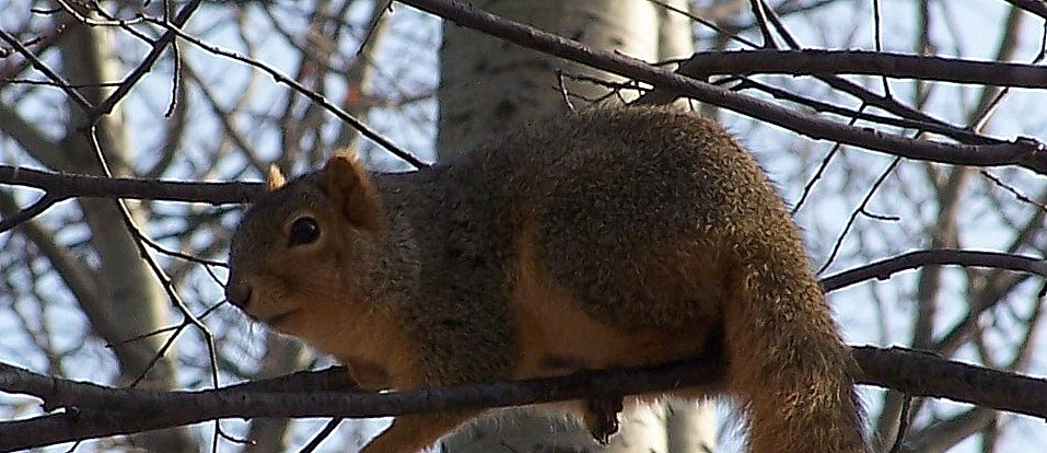 Michigan Fox Squirrel