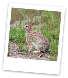 cottontail rabbit varying hare
