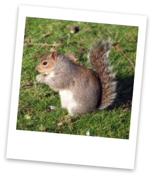 gray squirrel fox squirrel